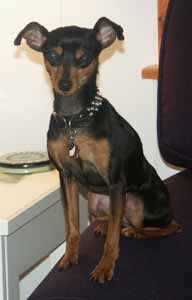 Damon's  min pin dog Missie with Animalstars tag