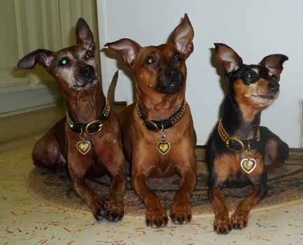 Min pin team in Animalstars gear