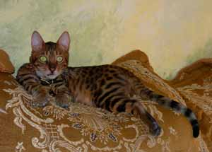 Animalstars Bengal Cats