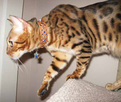 dazzle Nias in Animalstars collar tag
