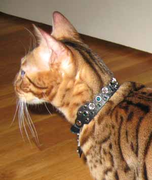 Dazzle Nias Bengal in Animalstars collar