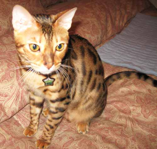 Dazzle Nias Bengal in Animalstars tag