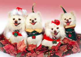 white pomeranian pom dog actors