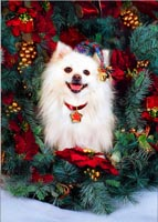 white pomeranian dog animal holiday greeting cards