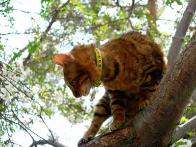 toyger cats jeweled collars