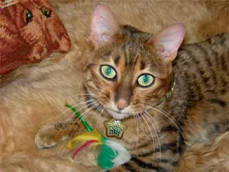Toyger Tanya Smith Cats 101 Sekhmet