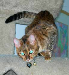 toyger cat id tags