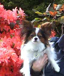 butterfly papillon dog